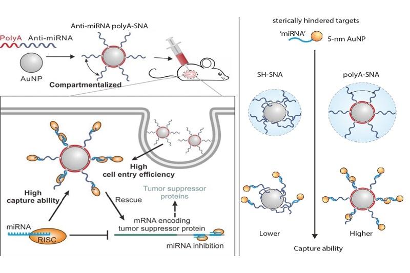 凤凰体育王飞团队研究球形核酸捕获活细胞miRNA取得进展